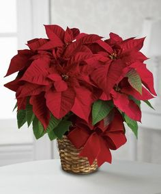 "The perfect plant to say ""Happy Holidays!"" Send one of our #poinsettia plants, and that special someone will indeed have a merry one."