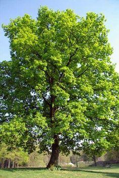 Het soort boom die je op zo'n plein moet plaatsen leek mij toch het beste om voor een eik te kiezen. Het zijn grote stevige bomen die plaatselijk voor een goede schaduwplek zorgen. Ook vergen ze niet veel onderhoud. (Jasper Jansen)