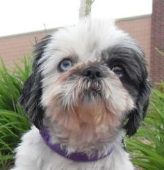 Gabriel is an adoptable Shih Tzu Dog in Canton, MI. Gabriel is approximately 3-4 years old and is an Imperial Shih Tzu and has 1 blue eye. He was rescued from an Allegan County, MI hoarder situation. ...