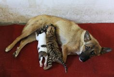 A female dog feeds a 10-day-old tiger cub and her puppy at a zoo in Hefei, Anhui province, July 26, 2013. The tigress, who is a first time mother, was deemed incapable of feeding her young because of insufficient milk production, according to zoo authorities.