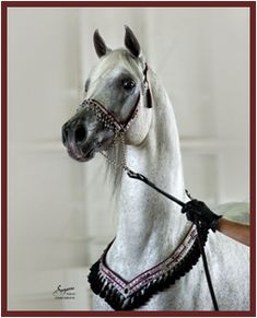 MB Mistaz (Ibn Safinaz x Imperial Mistilll) 1993 Grey Stallion Straight Egyptian, Al Khamsa Dahman Shawan