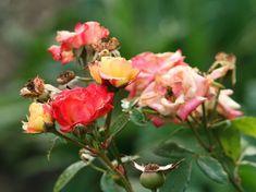 Igen, az elnyílt virágokat mielőbb le kell metszeni, kivéve, ha a termést be akarjuk érlelni!