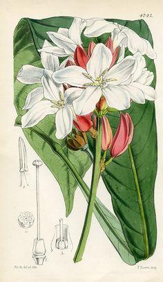 Brazilian Erythrochiton (Erythrochiton Brasiliense)   Curtis's Botanical Magazine (England , )
