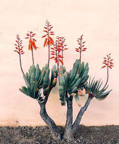 Outdoor Design Inspiration from Ojai Fan Aloe (plicatilis) at Jungalow