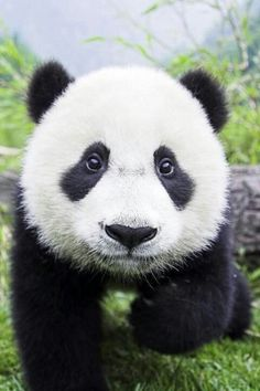Panda bear close up They are definatley the cutest animal on earth