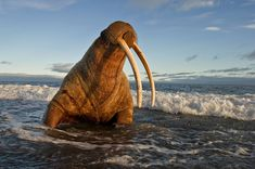 Wrangel Island is home to the world's largest population of Pacific walrus (Odobenus rosmarus). In ice-free years, between 80,000 and 100,000 walruses gather in coastal rookeries.