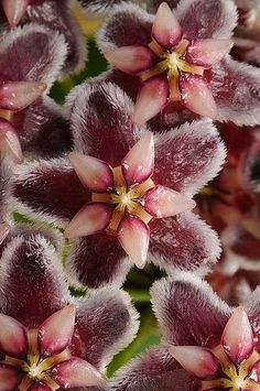 Hoya ...i grew my a hoya from a cutting which was no mean feat ..now i want it to flower...its been years...these flowers are stunning....