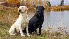 Labrador: Presiona la foto y averigua todo sobre esta raza.