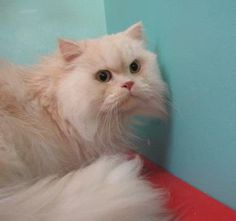 Pang-Pang (Fat-Fat) is a world-traveling cat now looking for a home to settle down in. He lived originally in Taiwan and his family moved to the United States. However, they had to move back and were unable to take him with them. He's learned that some things move between any culture: being affectionate. 4 y/o #Persian