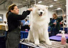 Samoyed care, feeding and training http://thracianglory.com/en/samoyed-care-feeding-training/