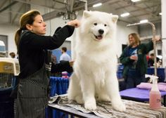 Samoyed care, feeding and training http://thracianglory.com/en/samoyed-care-feeding-training/