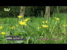 gewoon speenkruid - Vicaria verna - Lesser celandine, Fig buttercup, Pilewor