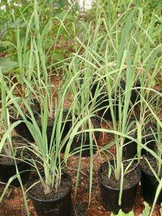 Lemongr Rootstalk Cymbopogon Citratus Bareroot Plant Javi Inc