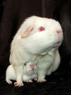 sweet mama and baby guinea pigs