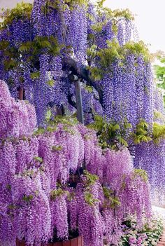 "Japanese Wisteria Blooms. From late April to mid May is one of the most beautiful seasons in Japan, as the flowers of Fuji (Japanese Wisteria) bloom all over the country. Although there are several variants of the flower-color [pink, purple and white], violet is the most common and the symbolic-color of Mt. Fuji. Some places for visiting the Wisterias in bloom are Ashikaga Flower Park in Tochigi, and the ""Fuji Tunnel"" at Kawachi Fuji Garden, Fukuoka, Japan."