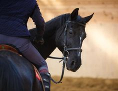 Our equine behavior expert offers advice for applying learning theory and treat-training horses under saddle. Learning Theory, Natural Instinct, Black Horses, Horse Training, Image Photography, Beautiful Horses, Equestrian, Stock Photos, How To Plan