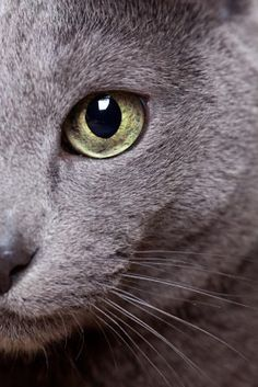 Eventually going to get a Russian Blue!