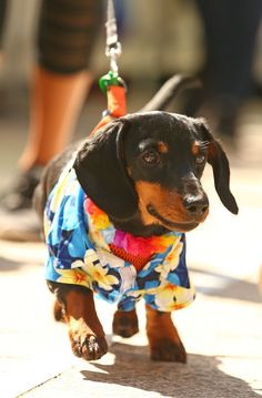 And this one. | 17 Incredible Pictures Of Costumed Sausage Dogs Racing Each Other