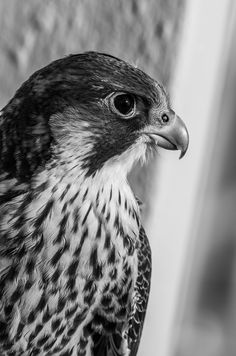Free Image on Pixabay - Bird, Peregrine Falcon, Chicks Black And White Birds, Black N White Images, Black And White Portraits, Falcon Logo, Falcon Tattoo, Horse Background, Love Quotes Photos, Horse Wallpaper, Iphone Wallpaper Quotes Love