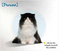 Did you know the Persian's first ancestors were imported from Khorasan, Persia, into Italy in 1620, and from Angora, Turkey to France around the same time? Read more about this breed by visiting Petplan pet insurance's Condition Checker!
