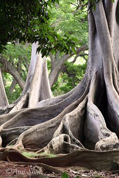 a tree and its roots.....Moreton Bay fig tree