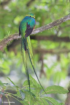 All About Birds : Resplendent Quetzal- Saw one in Costa Rica- will never forget that!