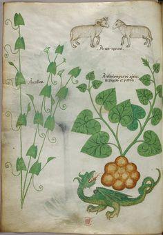 Miniatures of plants, sheep, and a dragon - (Tractatus de Herbis - Sloane 4016 f. 6)
