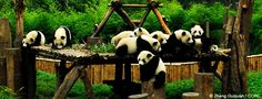 So happy to be launching this new panda project at Earthwatch!