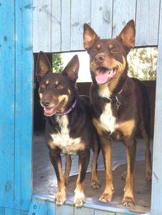 Australian Dog Breeds, Australian Bulldog, Australian Animals, Australian Cattle Dog, Australian Shepherds, West Highland Terrier, Scottish Terrier, Cute Puppies, Dogs And Puppies