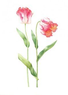 parrot tulip1