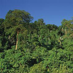 Una #passeggiata sulla volta degli #alberi, visitare il sistema di #grotte di Gua Telinga e le #rapide di Lata Berkoh, esplorare la #foresta #pluviale tropicale, effettuare il #birdwatching, compiere #trekking nella giungla, godersi il panorama fluviale lungo il Fiume Tahan sono le esperienze imperdibili al #Parco #Nazionale di #Taman #Negara #MALESIA, dimora di alcuni rari mammiferi, come la #tigre #indocinese, il #rinoceronte di #Sumatra, il gaur #malese (seladang) e l'#elefante #asiatico.