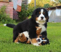 Trendy Ideas for dogs bernese mountain love Cute Dogs And Puppies, I Love Dogs, Pet Dogs, Dog Cat, Doggies, Beautiful Dogs, Animals Beautiful, Beautiful Pictures, Cute Baby Animals