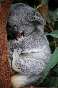 A very sweet and sleepy Kohla Bear