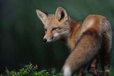 Fox kit enjoying a fresh summer morning 365 days fox marathon Day 103