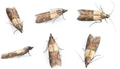 Learn easy ways to get rid of pantry moths quickly and without the use of pesticides or a call to the exterminator. Moths In House, Getting Rid Of Moths, Brown Moth, Pantry Moths, Moth Repellent, Best Pest Control, Fly Control, Tips, Insects