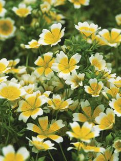 Poached egg plant, Limnanthes douglasii, is simple to grow in almost any soil in a sunny spot. The bright white and yellow cup shaped flowers create a cheerful patch of ground cover. It will self seed freely and naturalize itself.
