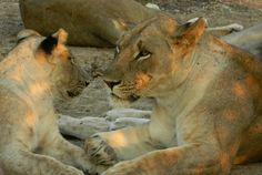 Lions Lions, Animals, Animais, Animales, Animaux, Animal, Lion, Dieren