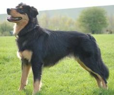English Shepherd breed information. This must be what Wade is!