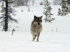 norway wolves | Save Norway' last wolves!
