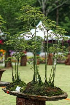 THAT is a bonsai garden. How beautiful and how many years to create. I still feel a little sad that they are artificially stunted.