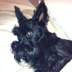 The look of a Scottie--I know that look.  Pardon me, I am napping.