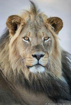 A handsome Kalahari lion, Kgalagadi, South Africa
