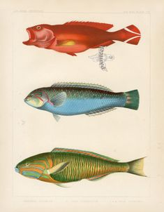 Commodore Perry Expedition to China Prints 1852. Antique fish drawings.