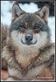Photos - Loup gris  - parc Alpha Mercantour