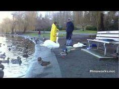 Feeding Swans Swans, Youtube, Movies, Films, Swan, Film Books, Movie