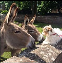 """Hello there, fuzzy short donkey!"" These donkeys are OK with owner's dog. Many dislike dogs. Cute Donkey, Mini Donkey, Farm Animals, Animals And Pets, Cute Animals, Wild Animals, Animals Amazing, Animals Beautiful, Miniature Donkey"