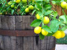 I miss my lemon tree.