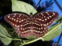 Female Common Archduke Butterfly   Flickr - Photo Sharing!