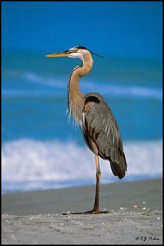 Ainsley's Blue Heron