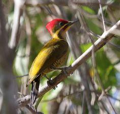 Golden-green Woodpecker - Argentina, Bolivia, Brazil, Ecuador, French Guiana, Guyana, Paraguay, Peru & Suriname